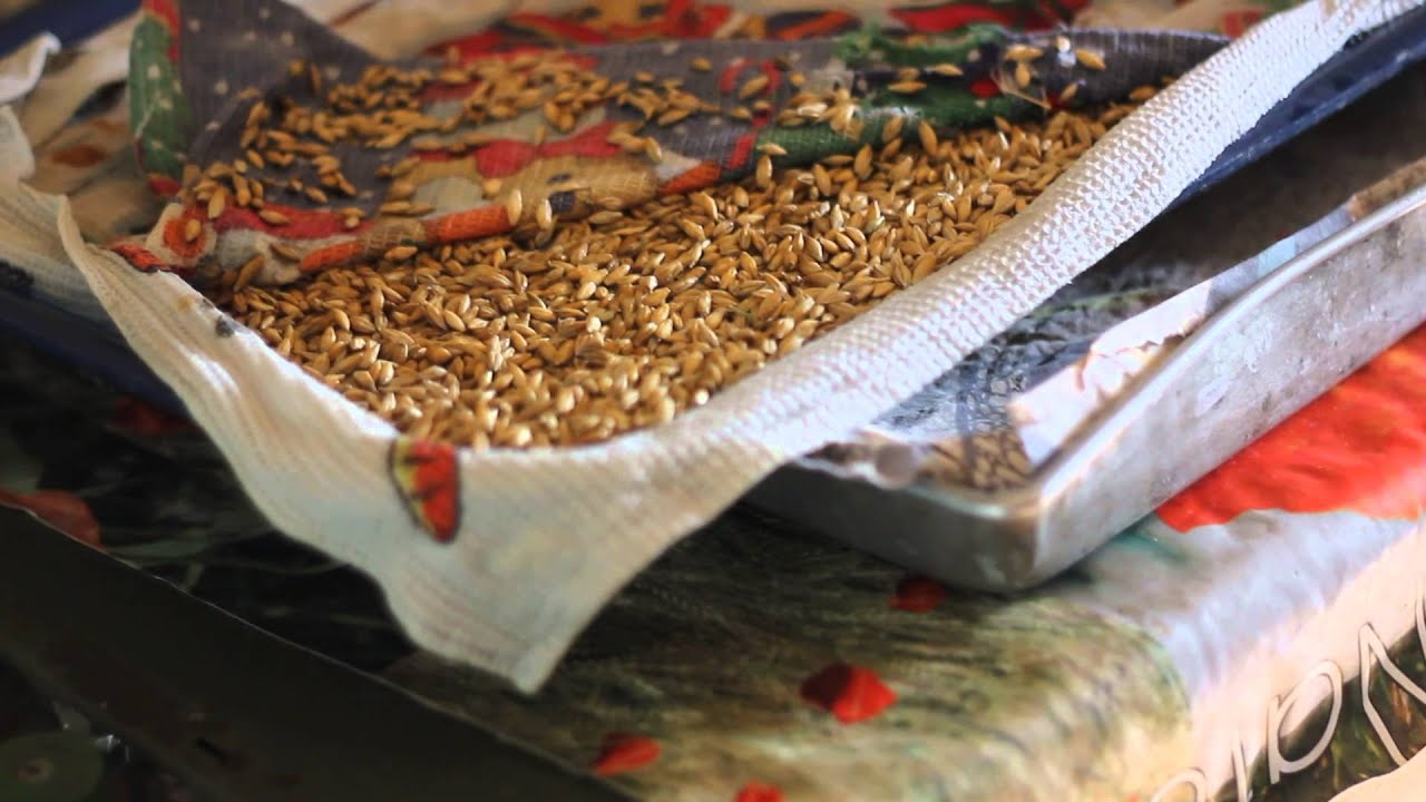 Пророщенная пшеница для кур несушек – польза и как правильно кормить