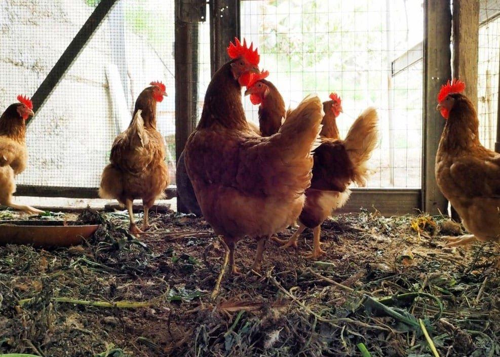Каких кур лучше разводить для начинающих в птицеводстве новичков: какую породу выбрать?