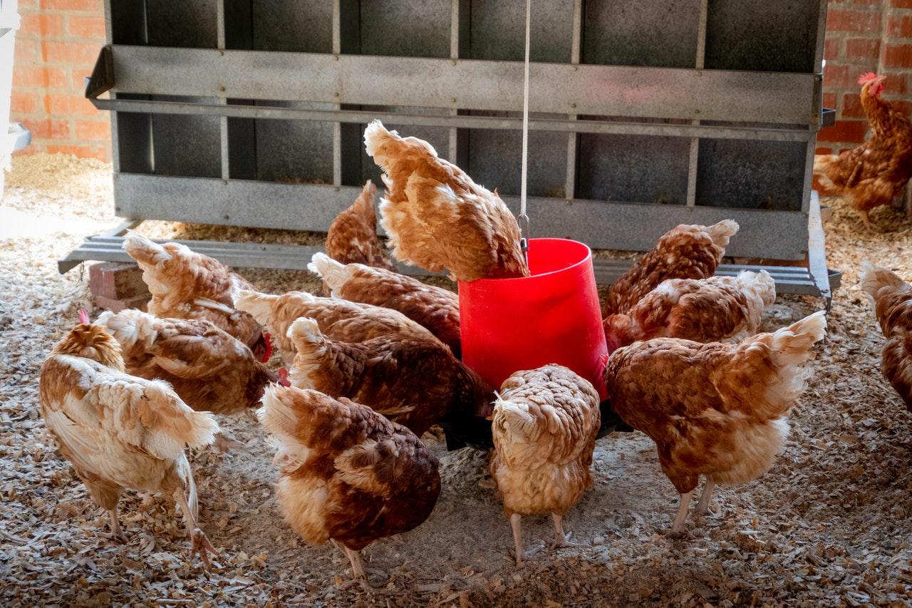Выгодно ли держать зимой кур-несушек или мясных для продажи или для себя?