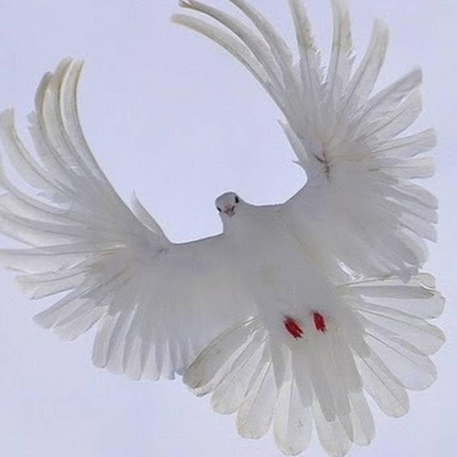 Порода мелитопольских голубей – характеристики и условия содержания