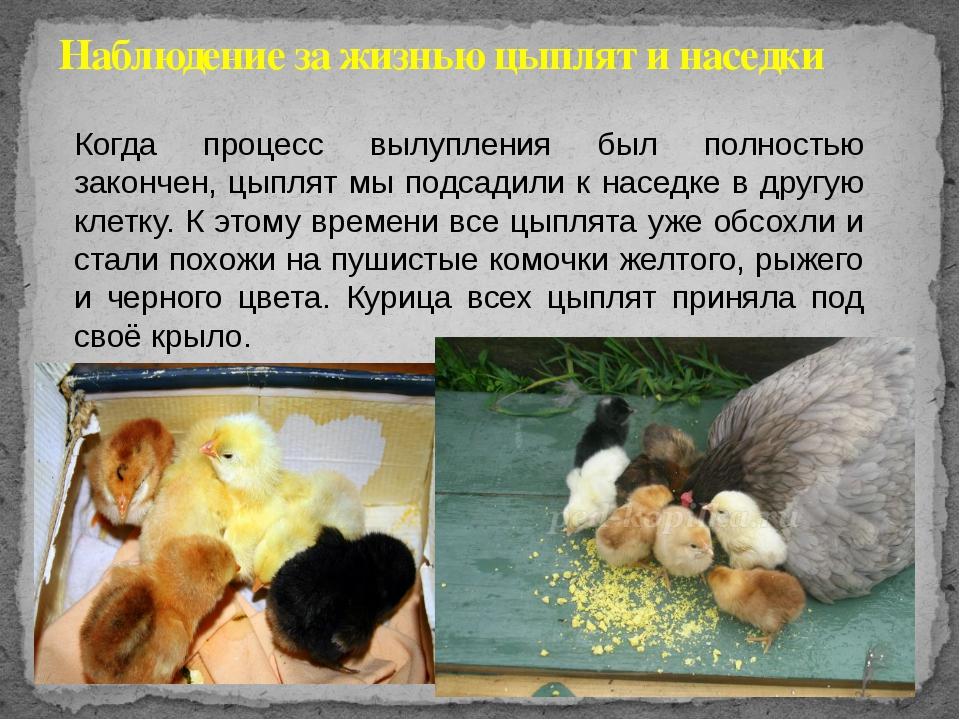 Почему цыплята не растут и не набирают вес: что делать и как лечить? Причины и меры профилактики