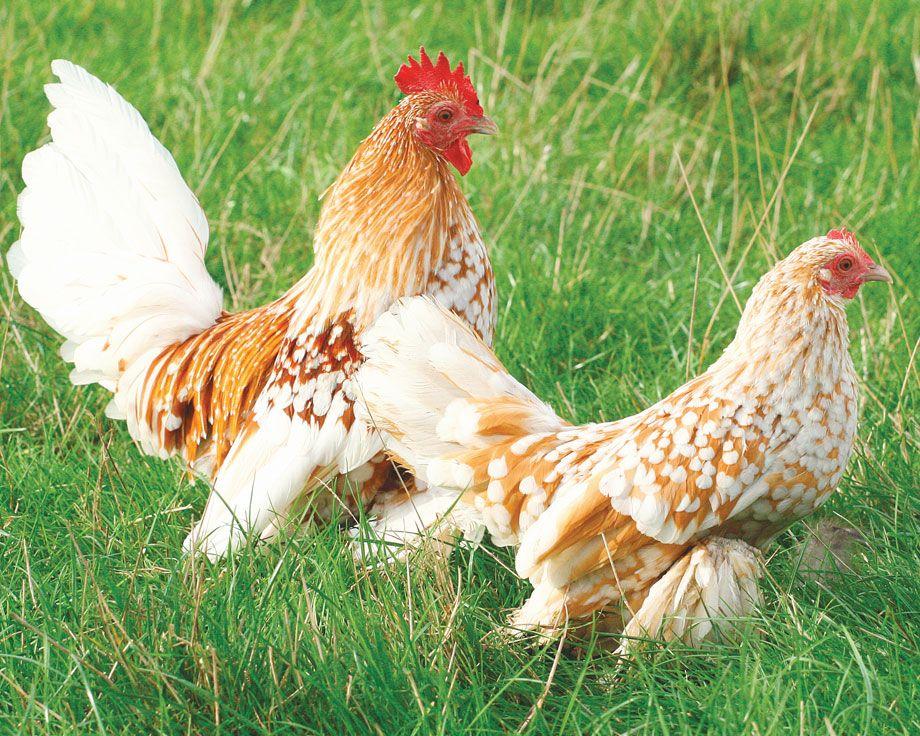 Рамельслоэр порода кур – описание с фото и видео