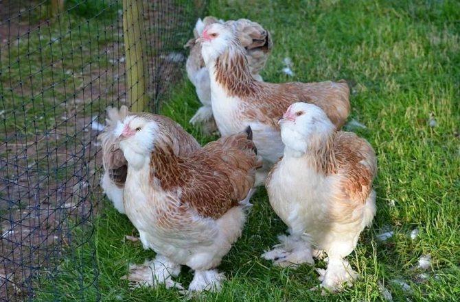 Куры породы Брама – пушистые куры на моем дворе