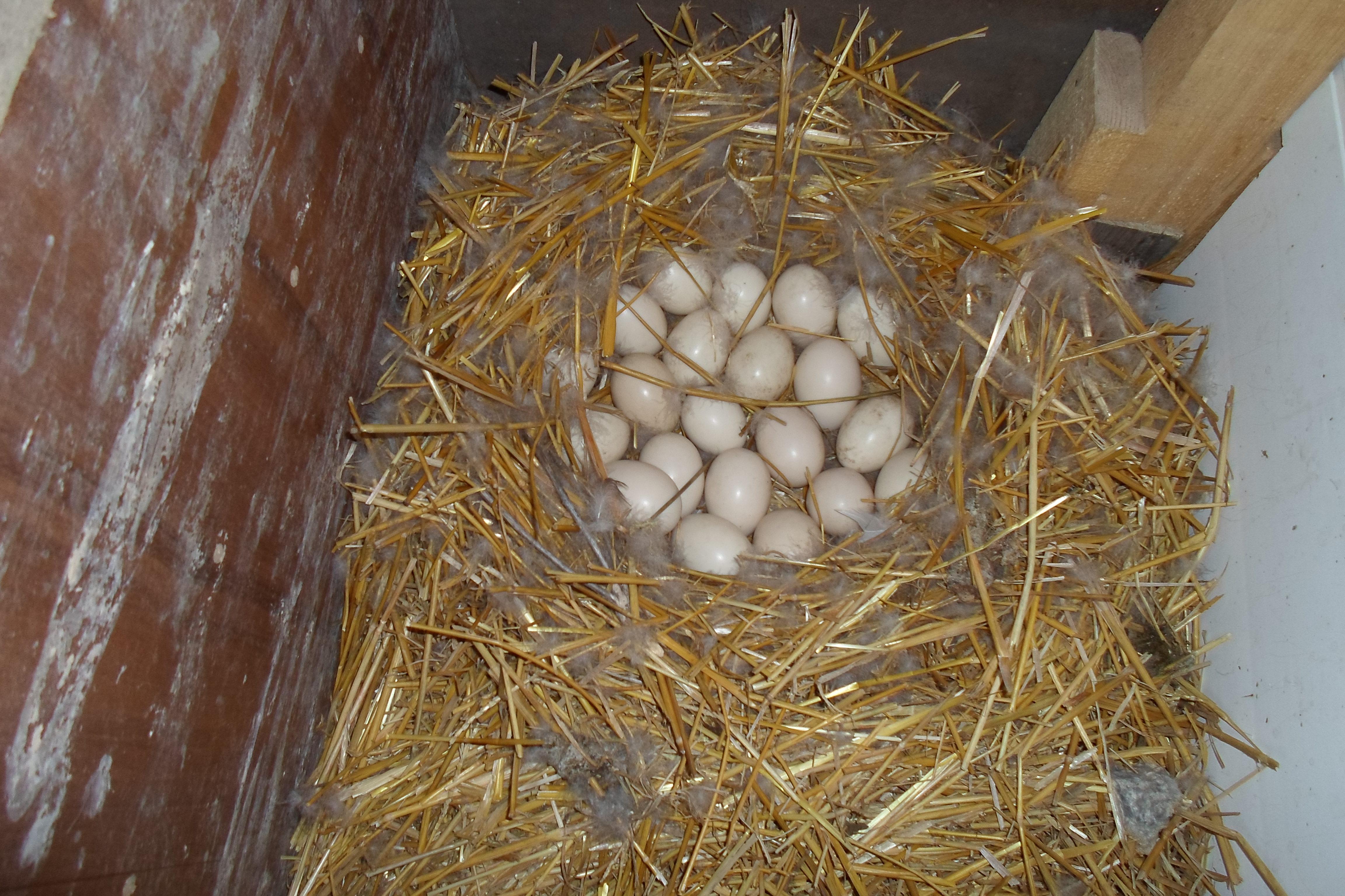 Высиживание яиц индоутками: особенности и нюансы
