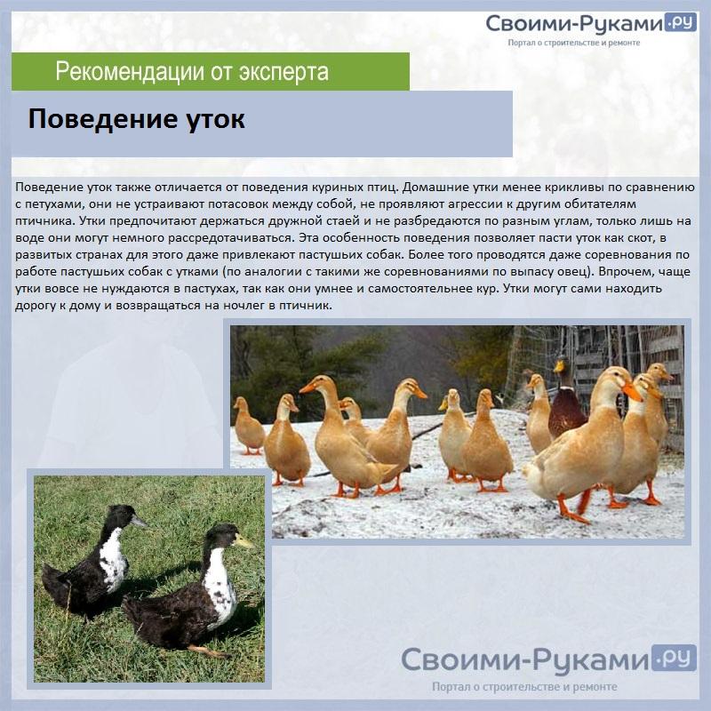 Утка фаворит: описание породы