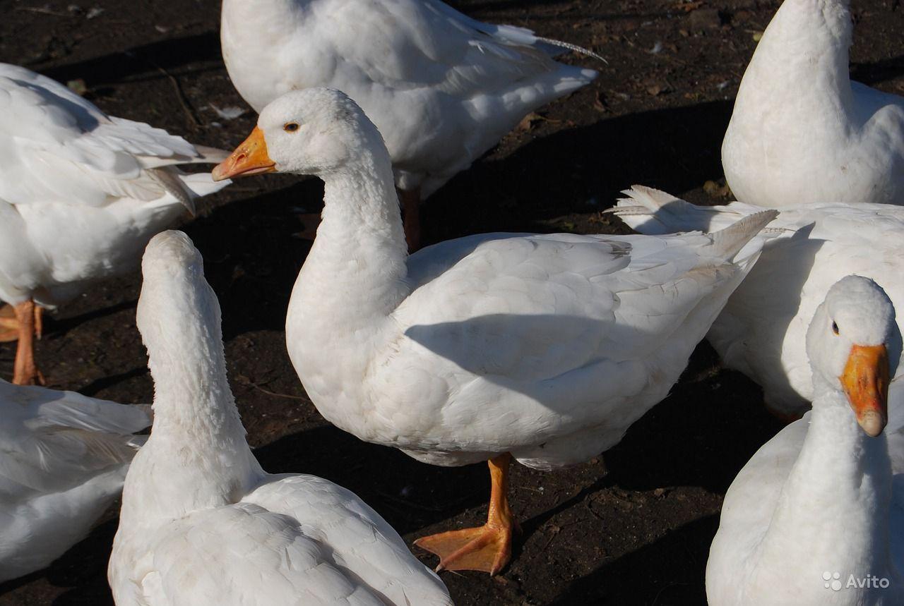 Чудо мировой селекции – утки Агидель