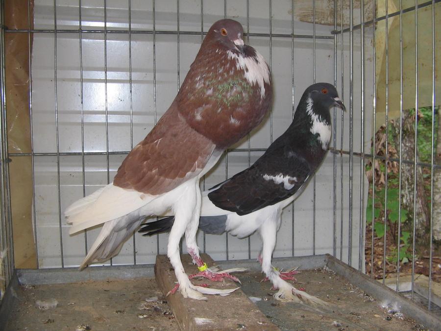 Как спариваются голуби: все нюансы получения потомства