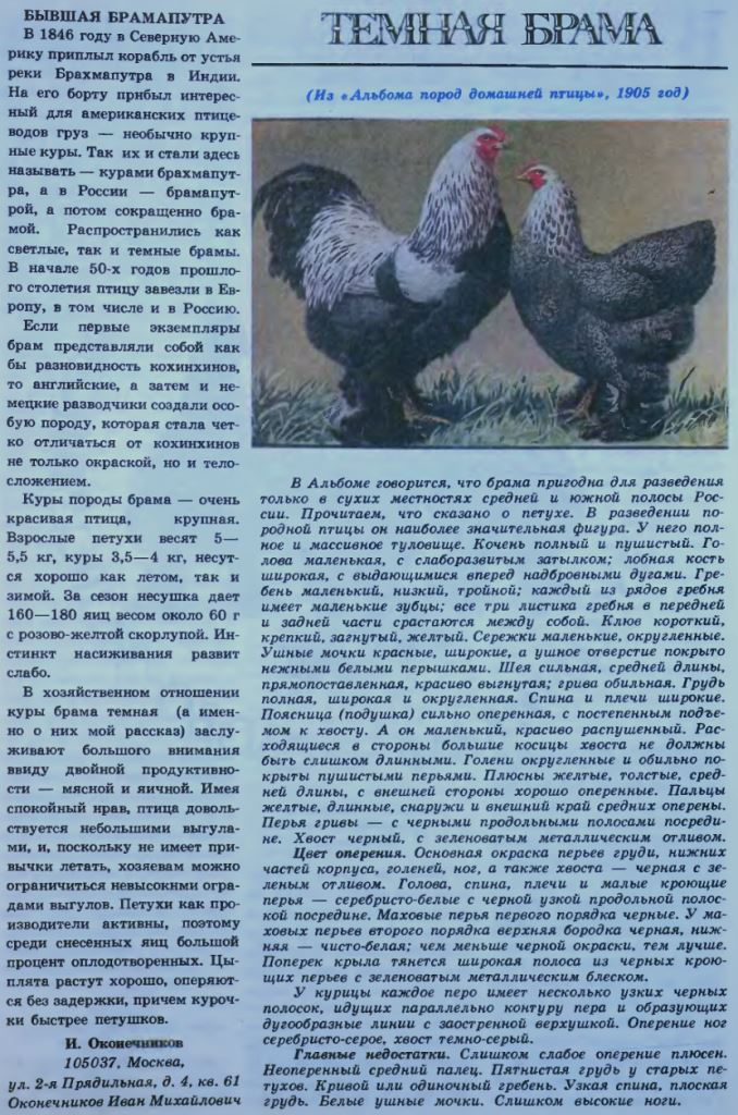 Янзе порода кур – описание с фото и видео