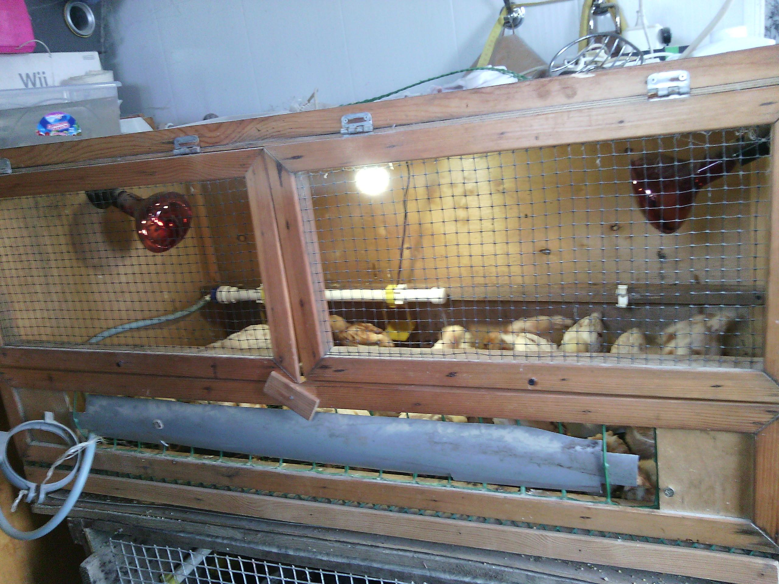 Подготовка брудера для суточных цыплят