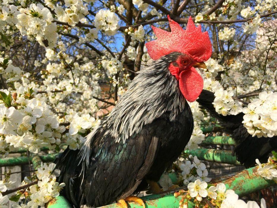 Шабо - декоративная порода кур. Описание, внешний вид, содержание и разведение, инкубация