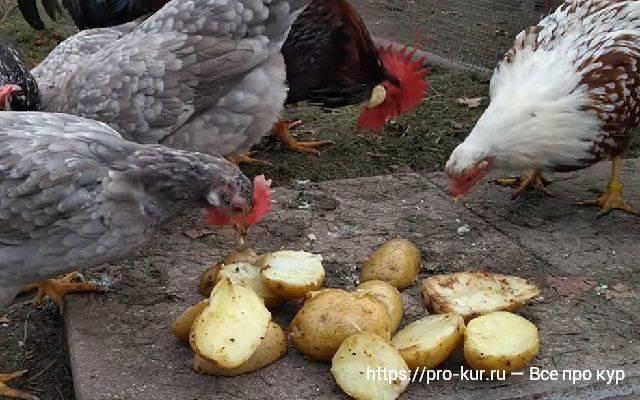 Кормление кур картошкой