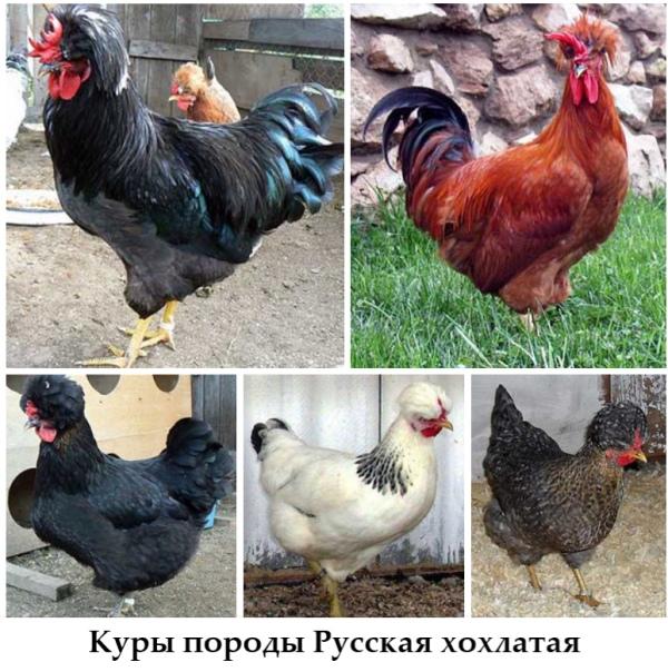 Русские хохлатые куры фото и описание, отзывы