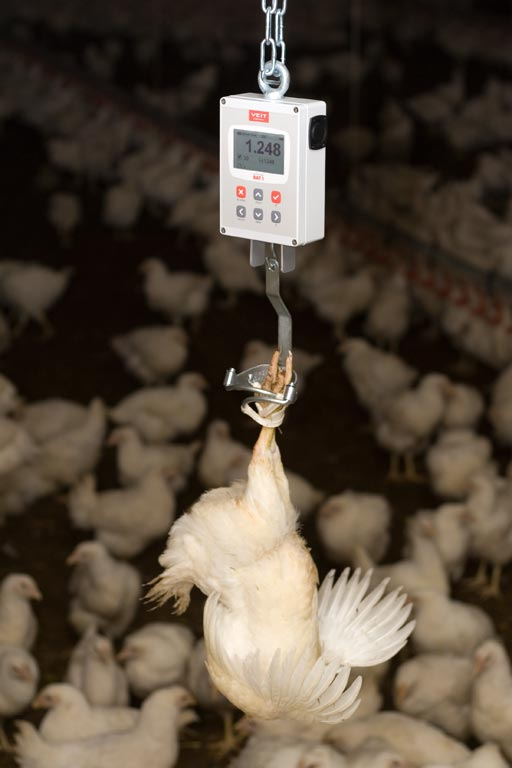 Как взвесить цыпленка и взрослую курицу в домашних условиях?