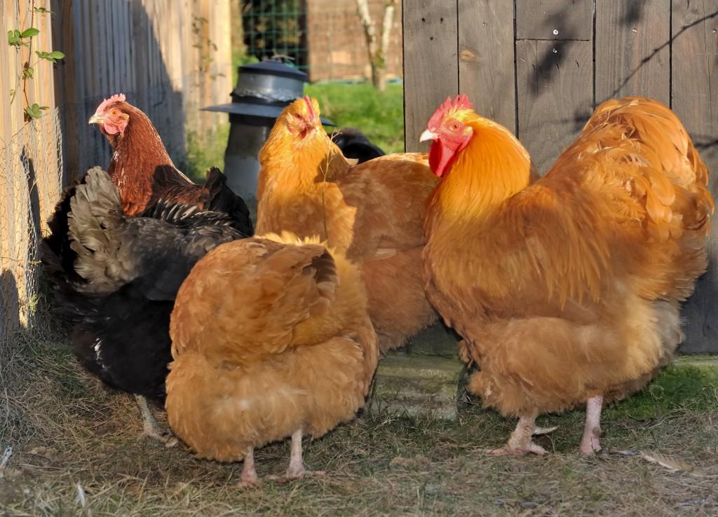 Орпингтон - мясо-яичная порода кур. Описание, разведение и выращивание, кормление, инкубация и яйценоскость