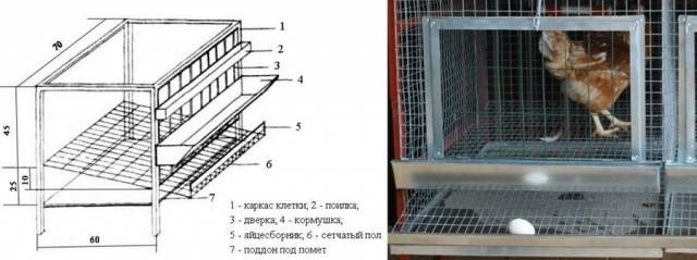 Можно ли держать курицу в квартире на балконе?