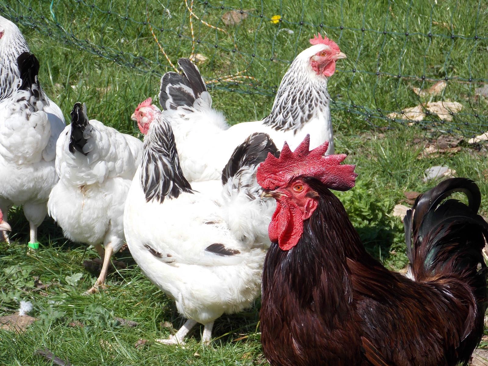 Суссекс - мясо-яичная порода кур. Характеристики, описание, особенности разведения и содержания