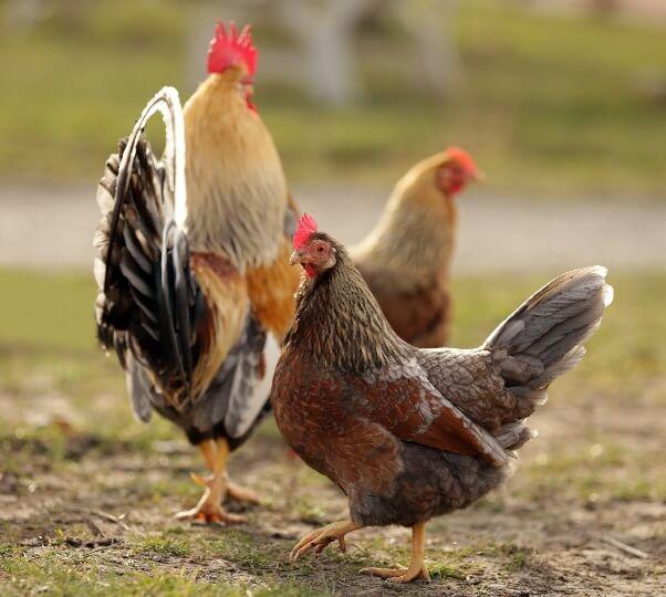 Асбохонс порода кур – описание с фото и видео