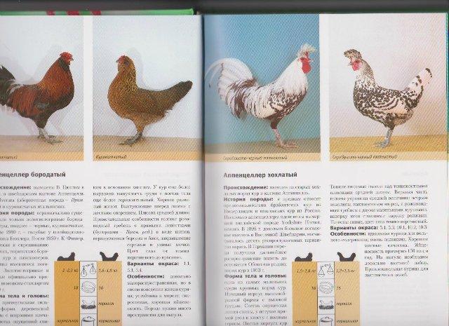 Утка Темп – описание кросса, особенности выращивания, отзывы