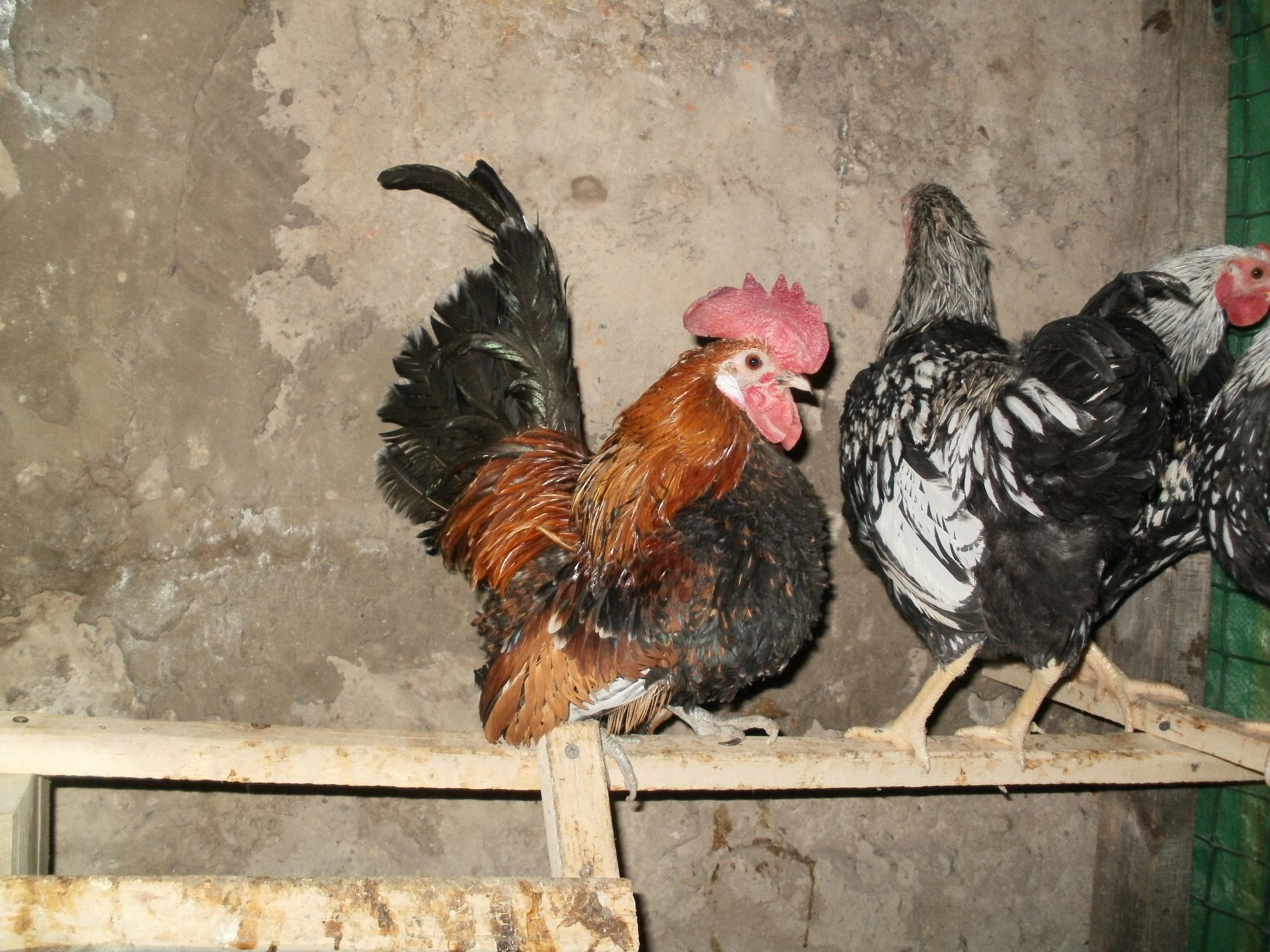Сатсумадори порода кур – описание с фото и видео