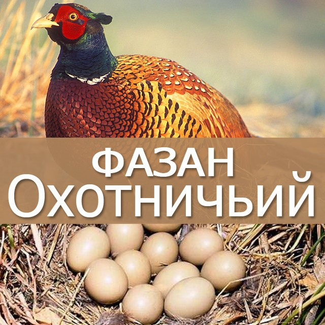 Инкубация фазанов в домашних условиях
