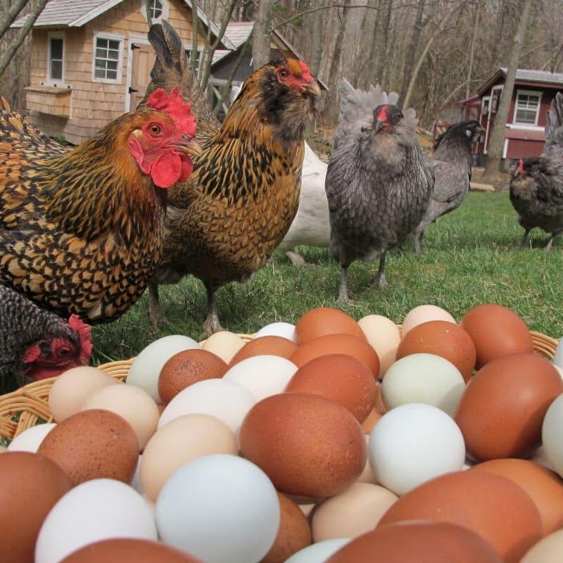 Яэрхюнс - яичная порода кур. Описание, характеристика, выращивание и уход, кормление, инкубация