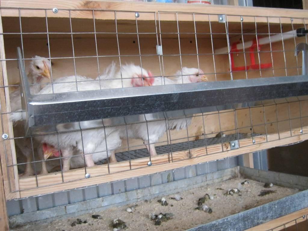 Особенности содержания кур в клетках дома
