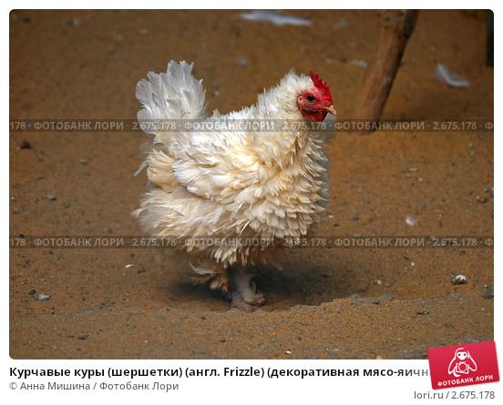 Курчавые куры – описание породы Шершетка с фото и видео