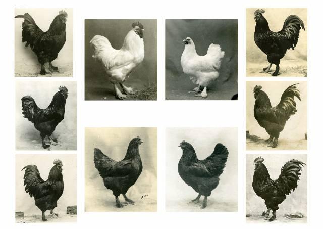 Лангшан - мясная порода кур. Описание, характеристики, особенности содержания и кормления, инкубация