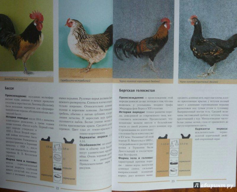 Бергская голосистая порода кур. Характеристики, описание, содержание и кормление, особенности инкубации