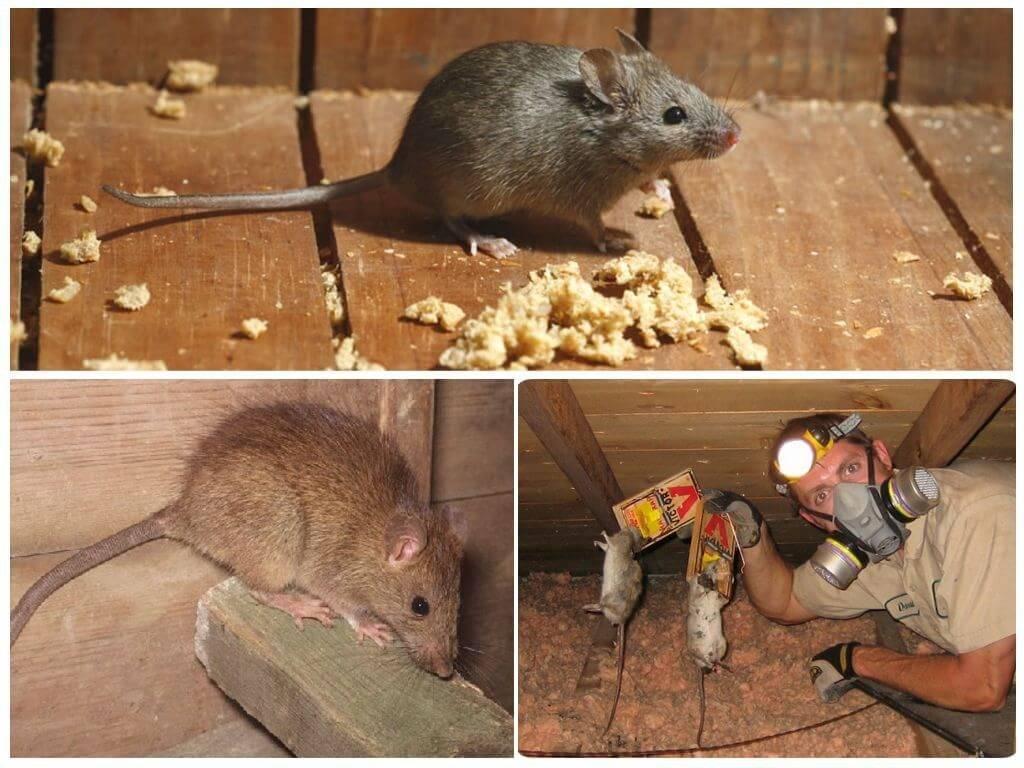 Как избавиться от крыс в курятнике эффективно и навсегда