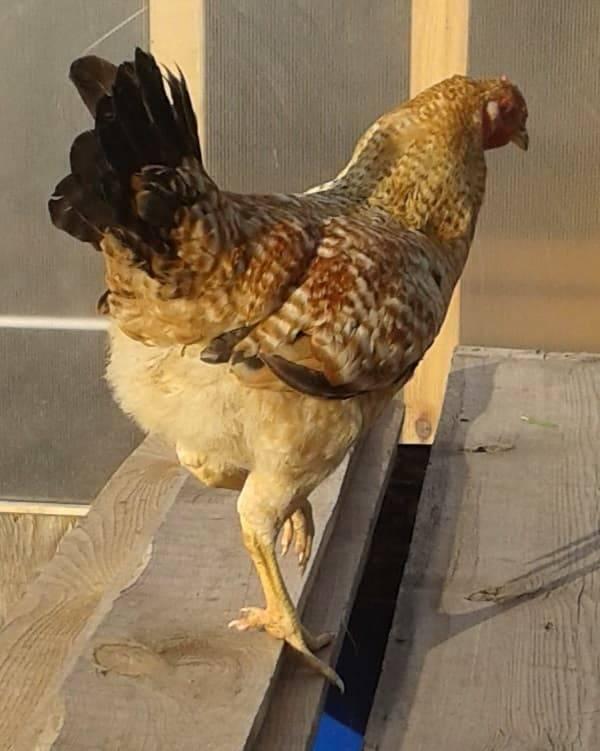 Царскосельская порода кур с фото и описанием