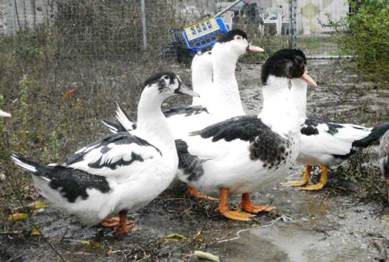 Утка Мулард – что за птица? Специфика выращивания в домашних условиях