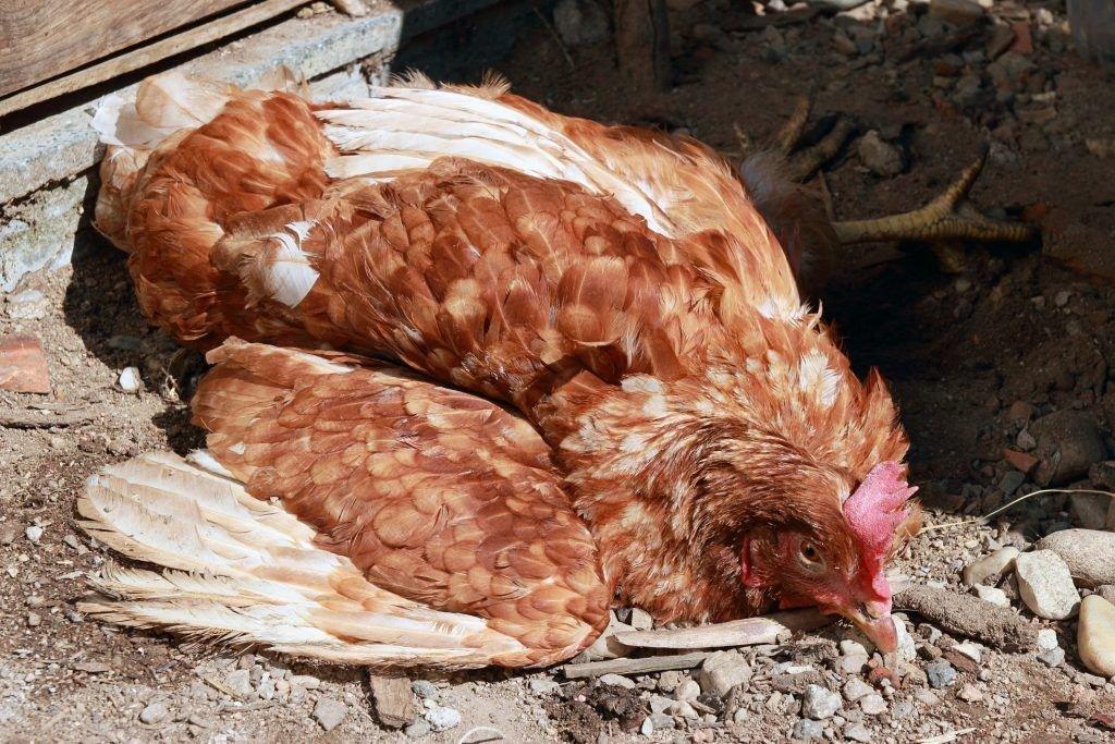 Почему курица кудахчет, когда снесет яйцо и можно ли отучить птицу кричать?