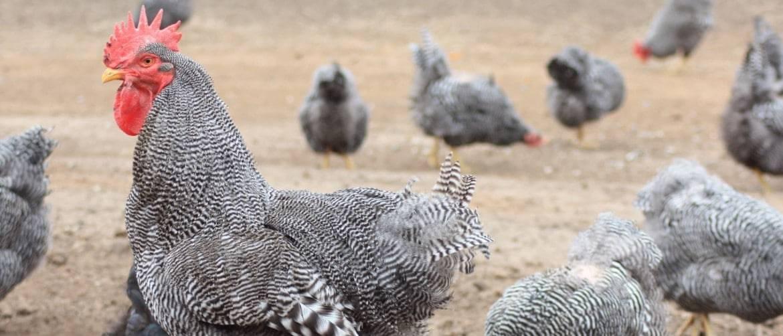 Французские куры Мастер Грей – достижение птицеводства