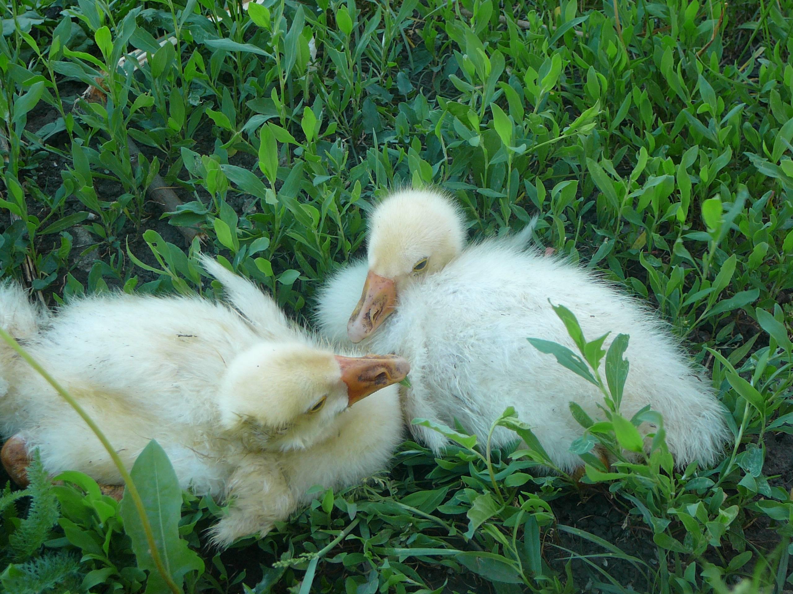 Почему дохнут гусята и как с этим бороться