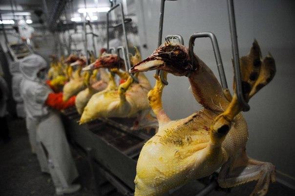Откорм гусей на мясо к праздничному столу