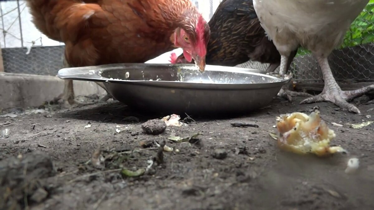 Рыба в кормлении кур