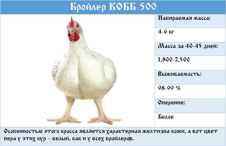 Какие бройлеры лучше: Кобб 500, Росс 308, Кобб 700, Росс 708, Гибро-6, их отличия и характеристики