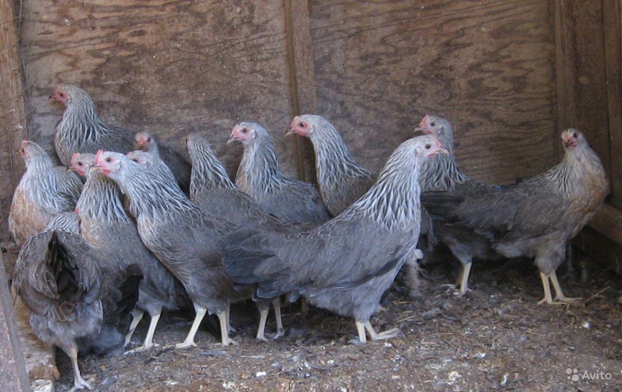 Асбохонс - мясо-яичная порода кур. Описание, содержание, кормление и выращивание, инкубация