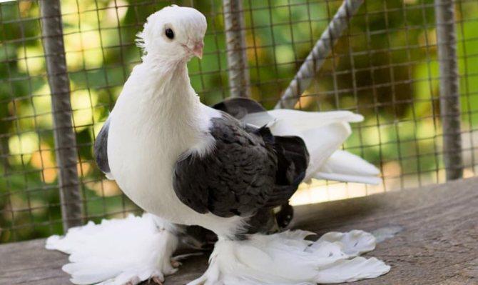 Сколько живут голуби на воле и в хозяйстве