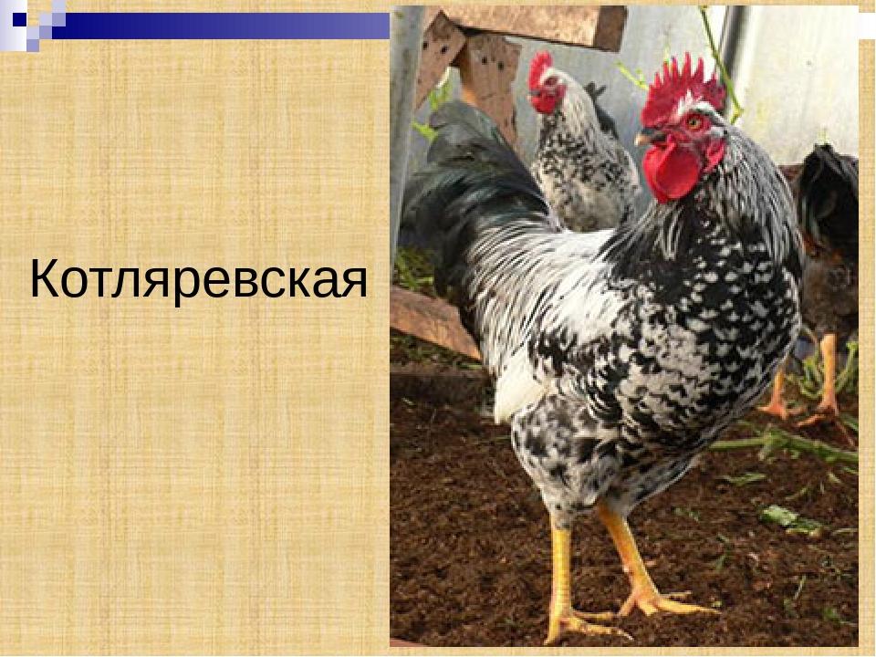 Котляревская порода кур – описание, фото и видео