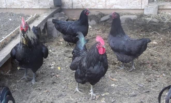 Джерсийская порода кур гигант – описание, фото и видео