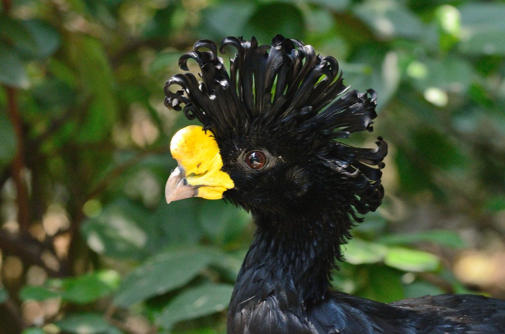 Кастеллана черная - мясо-яичная порода кур. Описание, характеристика, содержание, кормление и инкубация