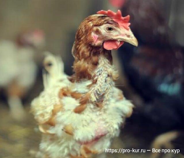 Линька у кур — сколько дней и когда будут нестись?