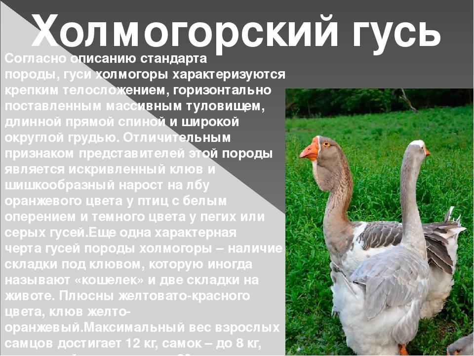 Характеристика лучшей мясной породы гусей – Холмогорских