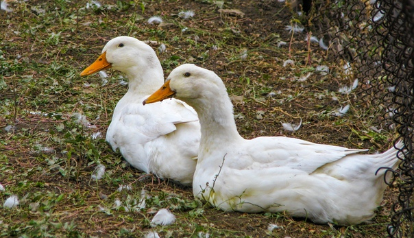 Почему утки щипают друг друга?