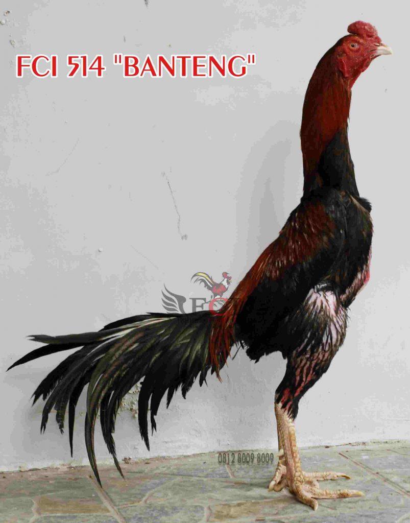 Шамо - бойцовая порода кур. Описание, правила содержания и разведения, кормление, инкубация