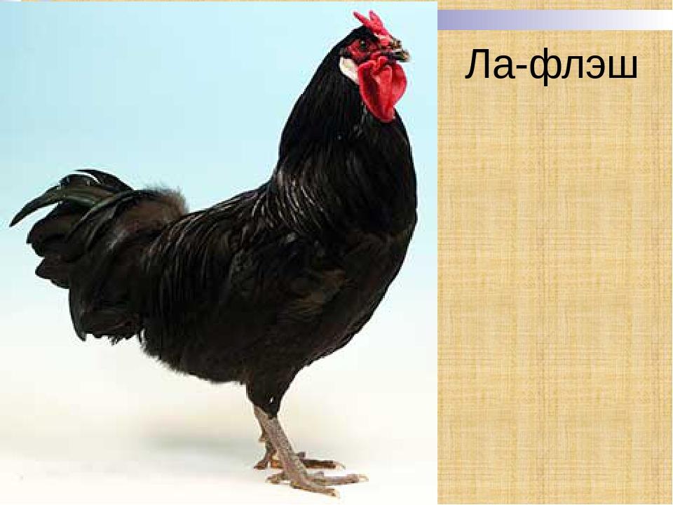 Египетская Файоуми порода кур – описание с фото и видео