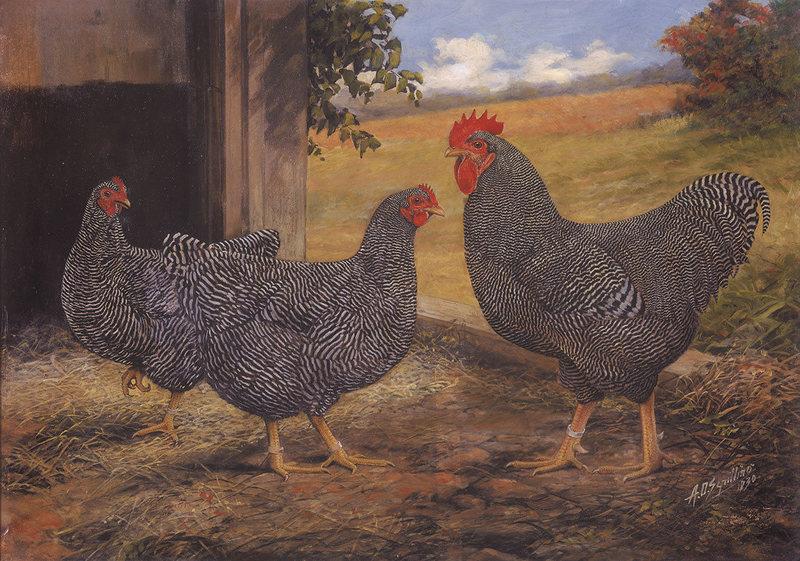 Саксонская - мясо-яичная порода кур. Описание, содержание, разведение и кормление