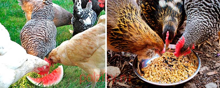 Как повысить яйценоскость домашних кур?